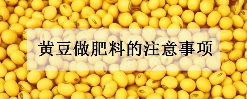 黄豆做肥料注意的事项