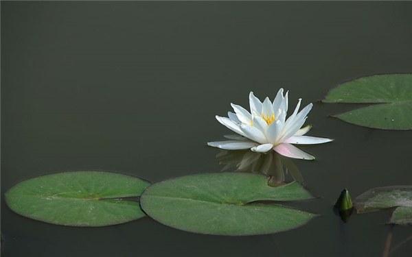 水缸里如何种植睡莲 睡莲养殖技巧有哪些