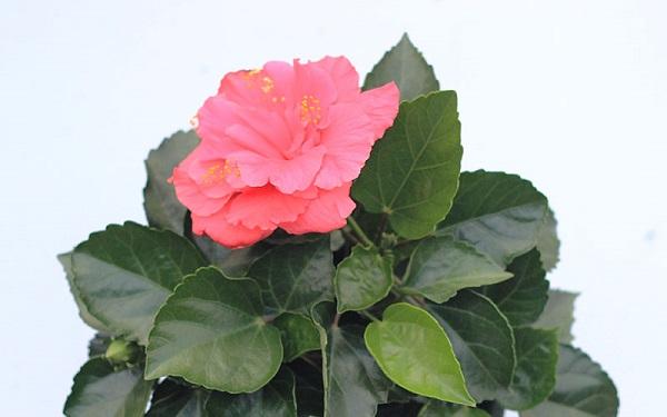牡丹花如何种植