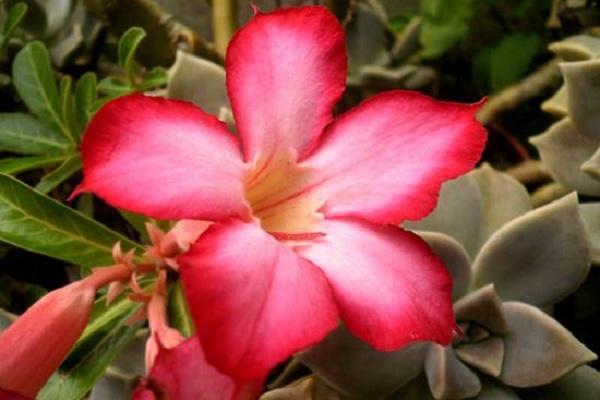 沙漠玫瑰冬季养殖方法 如何安全过冬