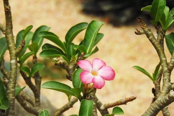 沙漠玫瑰几月砍头好 注意事项有哪些