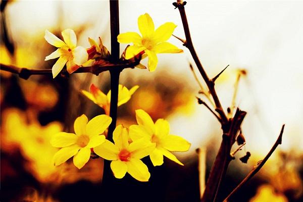 梨树为什么不开花_为什么迎春花光长叶不开花原因和处理方法_植物博士