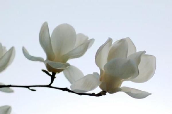 玉兰花的寓意及花语 适合送给哪些人