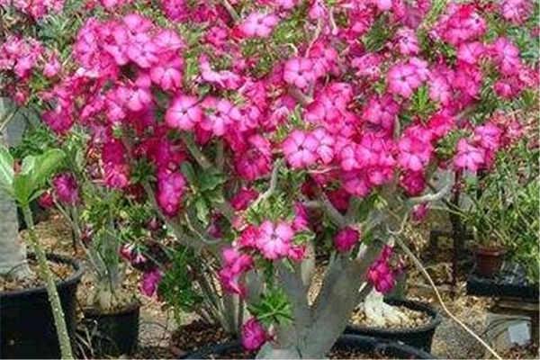 沙漠玫瑰怎么养才能更茂盛
