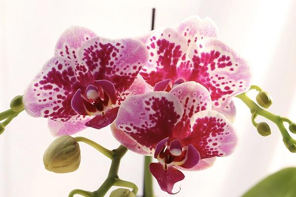 为什么蝴蝶兰光长叶不开花原因和处理方法