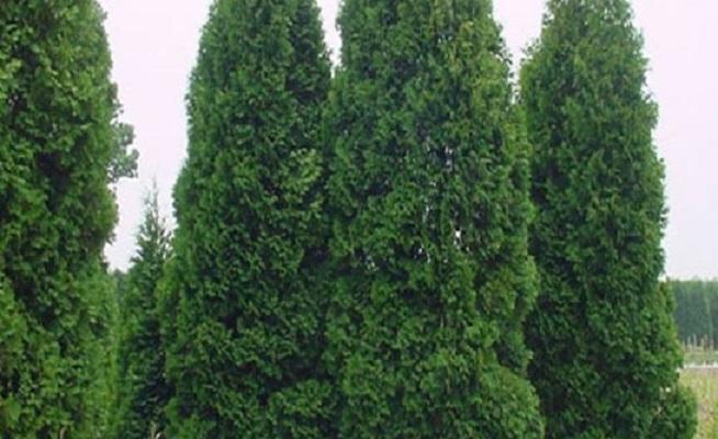 柏树扦插多久生根