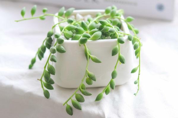 佛珠吊兰怎么养长得快 需要满足哪些因素