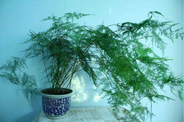 怎么能让文竹发新芽 每年长多少新芽