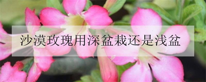 沙漠玫瑰用深盆栽还是浅盆