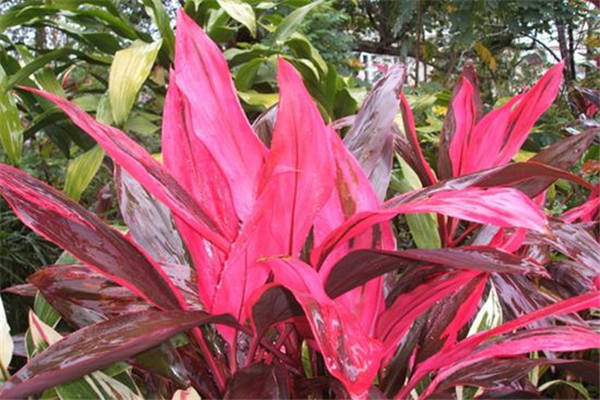 红叶朱蕉的风水作用
