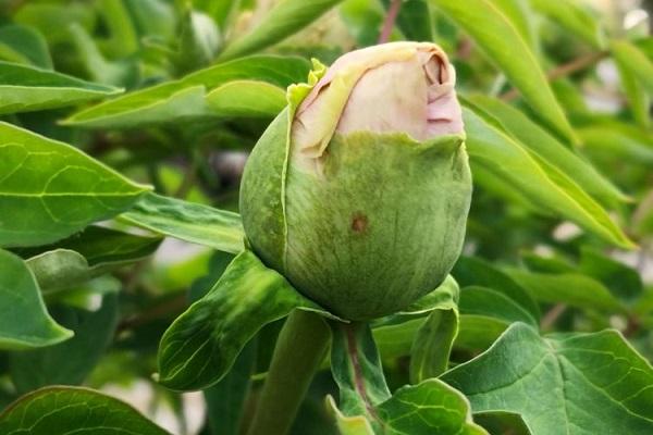 牡丹花有花苞一直不开是什么原因
