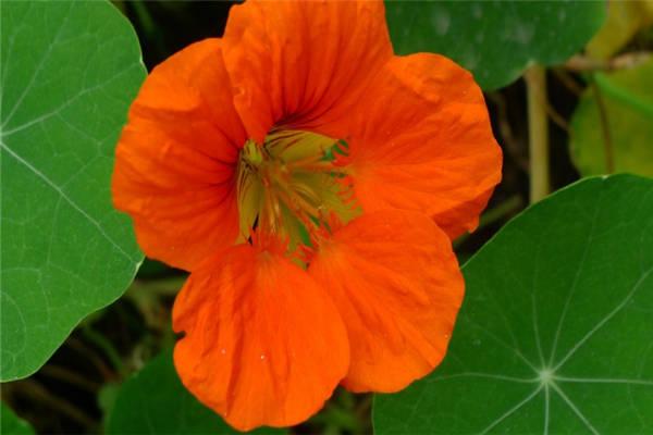 旱金莲的养殖方法和注意事项