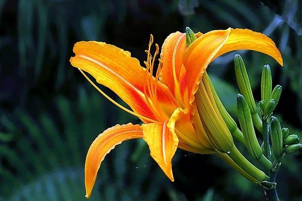 萱草花的寓意和象征 适合送给哪些人