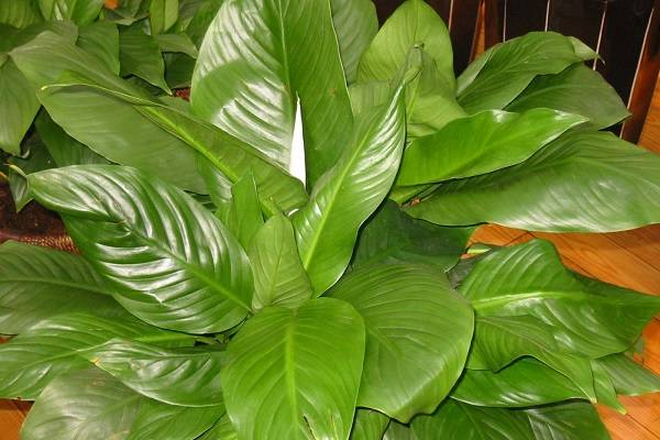 大叶绿宝石的养殖方法是什么