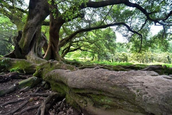 家里为什么不能种榕树 寓意真的不吉利吗