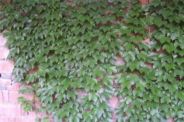 家里为什么不能种爬藤植物 原因有哪些