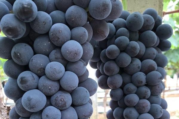葡萄什么时候打波尔多液 如何正确使用