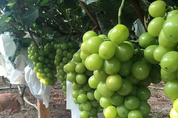 噻苯隆对葡萄的作用和副作用 使用方法有哪些