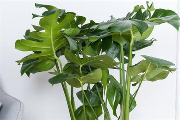 龟背竹底部小叶变黄是怎么回事