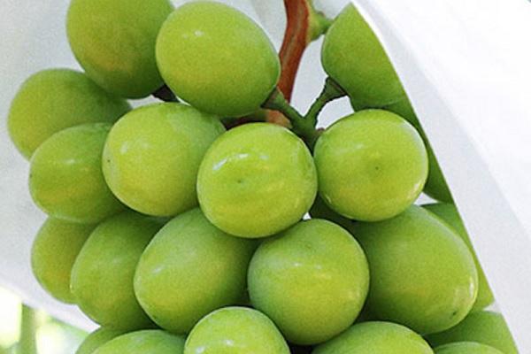 葡萄果粒长不大怎么办 如何施肥才能改善