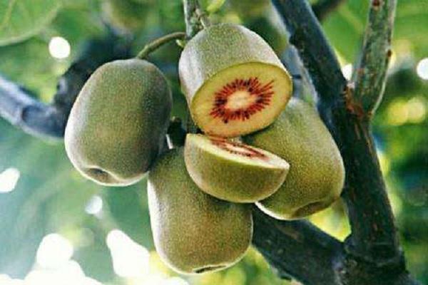 中国最好吃的猕猴桃排名 哪些品种口感好