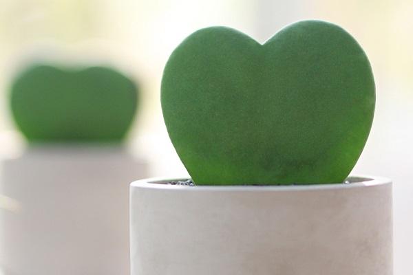 心叶球兰叶片像心形吗