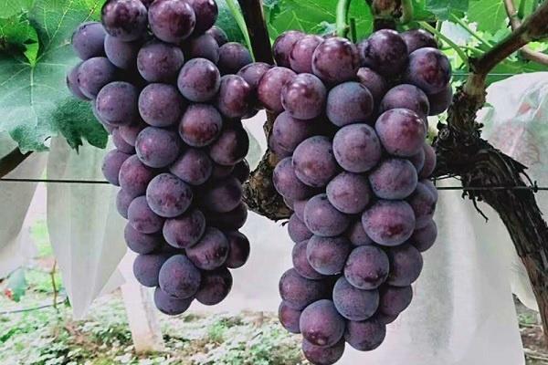 羊粪可以直接用在葡萄树上吗 使用方法有哪些