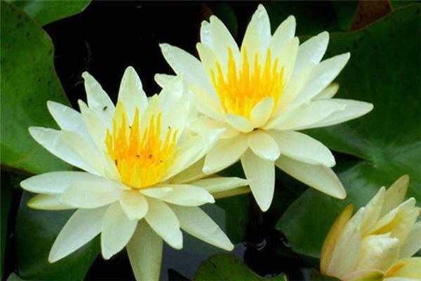 碗莲最好种的几个品种