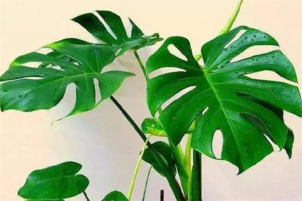 龟背竹叶子插水能生根吗