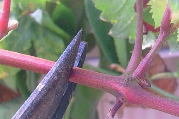 葡萄能在老枝上嫁接吗 注意事项有哪些