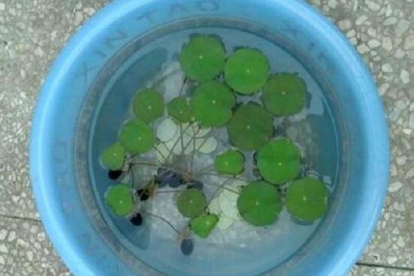 碗莲种子需要去外壳种植吗 如何养护发芽快