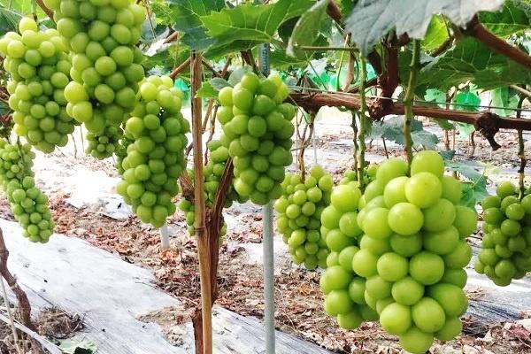 葡萄结果枝的摘心方法是什么