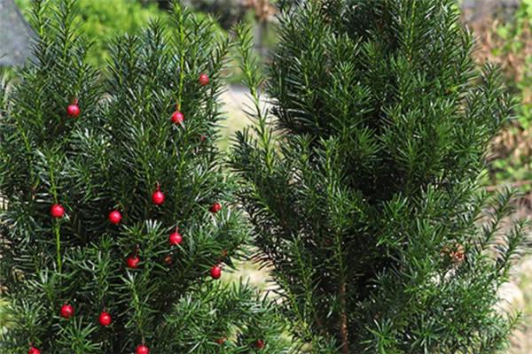 红豆杉可以自然授粉吗