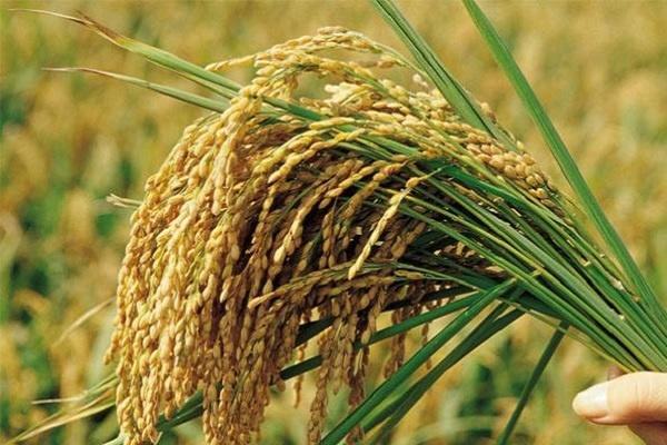 南方中稻什么时候收割 收获时间及方法