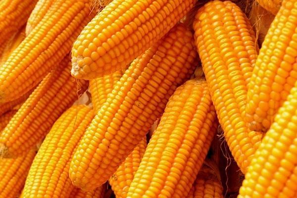 玉米留棒是上面好还是下面好 掰掉哪个更高产