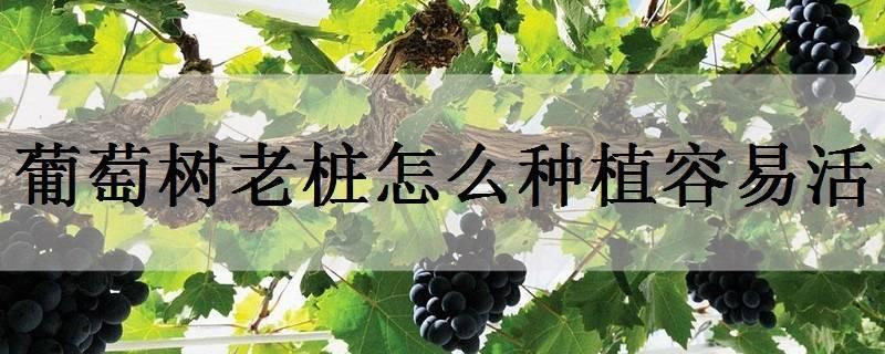 葡萄树老桩怎么种植容易活