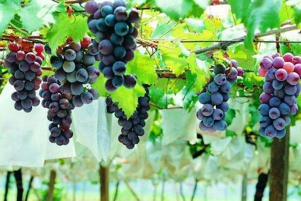 葡萄树怕不怕水多 喜欢水多还是水少