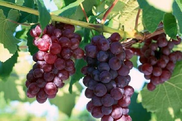 葡萄转色期如何施肥 选择什么肥料效果好