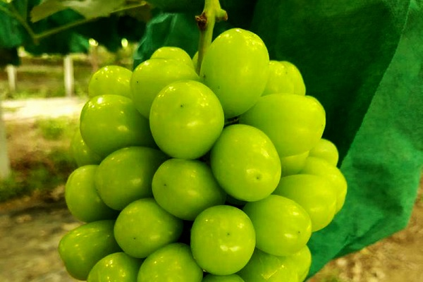 庭院葡萄怎么剪枝图解 修剪方法有哪些