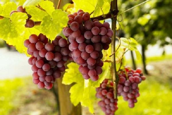 香椿树可以嫁接葡萄吗 成活率高不高