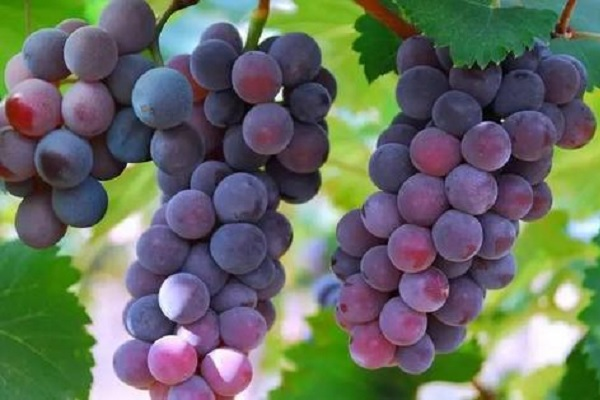 巨峰葡萄为什么叫巨峰 是怎么种植的