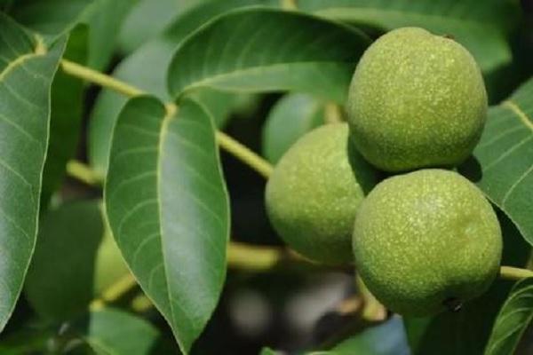 硝酸铵钙在果树上使用 正确使用方法