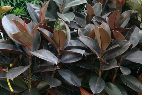 橡皮树直接插土里活吗 如何养护成活率高