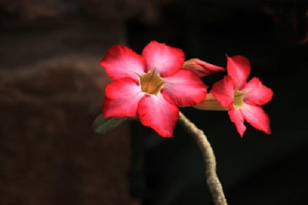沙漠玫瑰如何快速水培生根 方法有哪些
