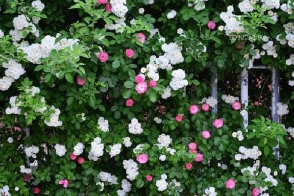 复合肥能给蔷薇花施肥吗 如何合理使用