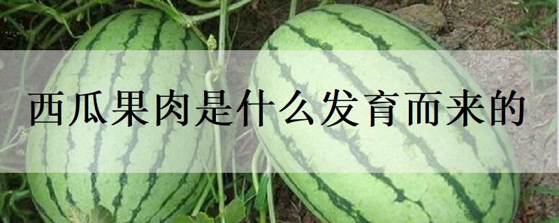 西瓜果肉是什么发育而来的