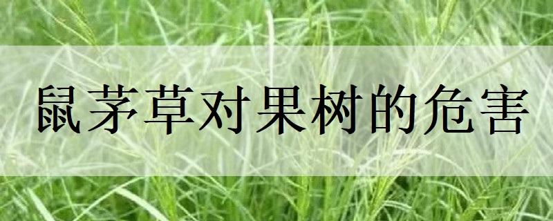 鼠茅草对果树的危害
