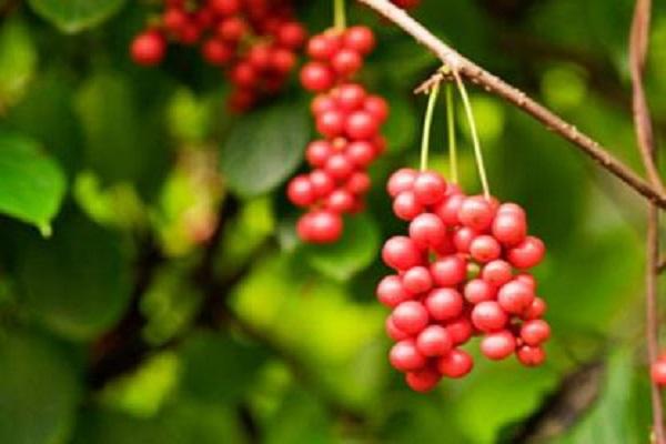 五味子种植技术与栽培管理方法