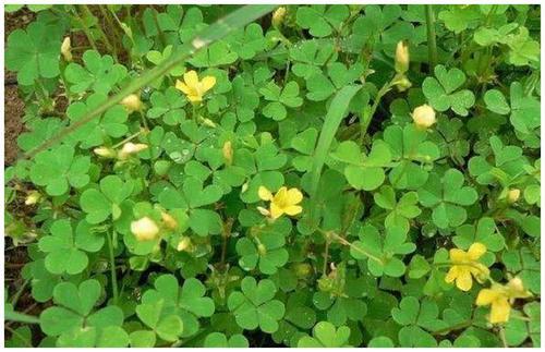 酢浆草和三叶草的区别 分辨方法整理