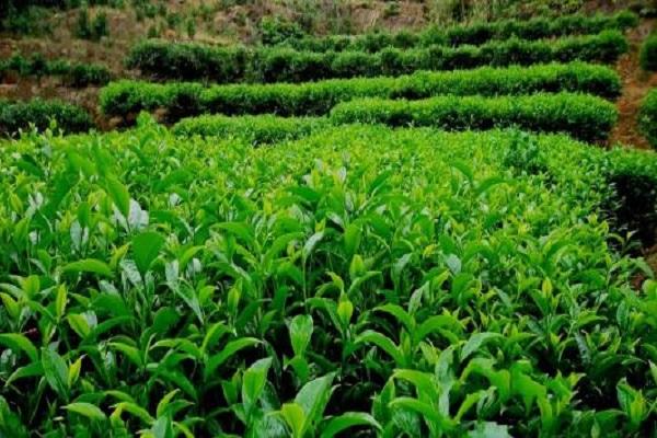 茶树怎么种植 茶树需要几年能长大